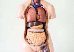 human body 300x210