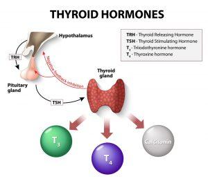 stock photo thyroid hormones human endocrine system 317217416 300x262
